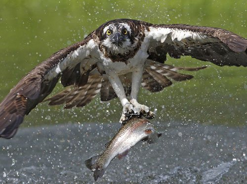 Osprey catch by Sheffield photographer Paul Hobson, Highly commended in the 2010 Wildlife photographer of the year competition